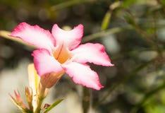 ρόδινο plumeria λουλουδιών Στοκ Εικόνες