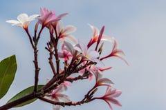 Ρόδινο plumeria στο δέντρο plumeria στον κήπο Στοκ Εικόνα