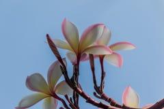 Ρόδινο plumeria στο δέντρο plumeria στον κήπο Στοκ Φωτογραφίες
