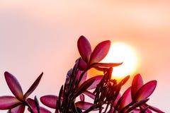 Ρόδινο plumeria στο δέντρο plumeria στον κήπο Στοκ Εικόνες