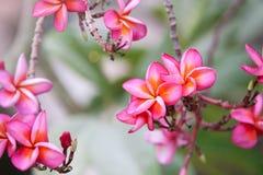 Ρόδινο plumeria στο δέντρο plumeria, τροπικά λουλούδια frangipani Στοκ Φωτογραφία