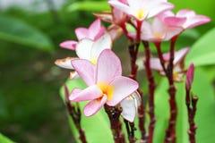 Ρόδινο plumeria στο δέντρο plumeria όμορφο frangipani Στοκ εικόνες με δικαίωμα ελεύθερης χρήσης