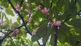 Ρόδινο plumeria στο δέντρο plumeria Στοκ Φωτογραφίες