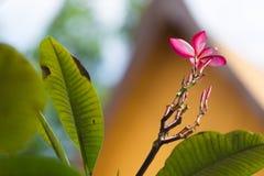 Ρόδινο plumeria στο δέντρο plumeria, Στοκ φωτογραφίες με δικαίωμα ελεύθερης χρήσης