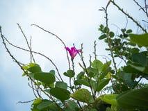 Ρόδινο plumeria στο δέντρο plumeria Στοκ Εικόνες