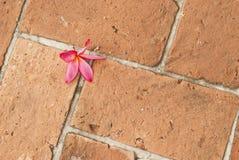 Ρόδινο Plumeria στο πεζοδρόμιο τούβλου Στοκ Φωτογραφία