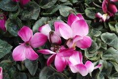 Ρόδινο Plumeria Στοκ εικόνες με δικαίωμα ελεύθερης χρήσης