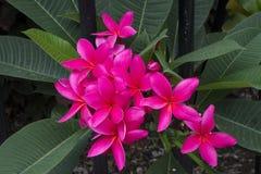 ρόδινο plumeria frangipani λουλουδιών Στοκ Φωτογραφία