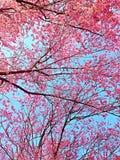 Ρόδινο Prunus Στοκ φωτογραφίες με δικαίωμα ελεύθερης χρήσης