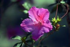 Ρόδινο rhododendron στο σκοτάδι του κήπου Στοκ Εικόνα
