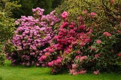 ρόδινο rhododendron Στοκ Φωτογραφίες