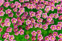 Ρόδινο saxifrage Arends Στοκ Εικόνα