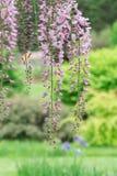 ρόδινο wisteria Στοκ εικόνες με δικαίωμα ελεύθερης χρήσης