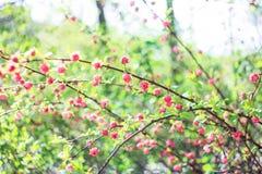 Ρόδινο woist Louiseanie λουλουδιών οφθαλμών Στοκ φωτογραφία με δικαίωμα ελεύθερης χρήσης