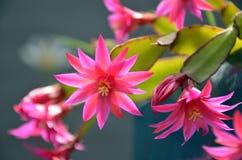 Ρόδινο Zygocactus στο λουλούδι Στοκ Φωτογραφίες