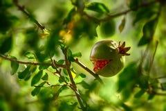 Ρόδι μεταξύ του φυλλώματος στο δέντρο Στοκ Εικόνα