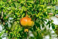 Ρόδι σε ένα δέντρο ροδιών Στοκ Εικόνα