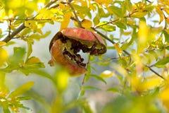Ρόδι στο δέντρο Στοκ Εικόνες