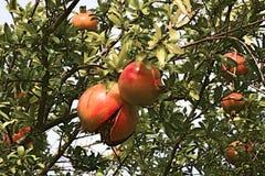 Ρόδι, φρούτα, τρόφιμα, οργανικά, Ιταλία Στοκ εικόνα με δικαίωμα ελεύθερης χρήσης
