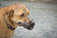 Ρύγχος ένδυσης σκυλιών (Εκλεκτική εστίαση στο μάτι dog's) Στοκ εικόνες με δικαίωμα ελεύθερης χρήσης