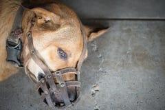 Ρύγχος ένδυσης σκυλιών (Εκλεκτική εστίαση στο μάτι dog's) Στοκ Εικόνα