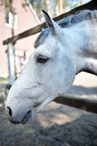 Ρύγχος ενός άσπρου αλόγου Στοκ εικόνα με δικαίωμα ελεύθερης χρήσης