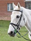 Ρύγχος ενός άσπρου αλόγου Στοκ Εικόνες