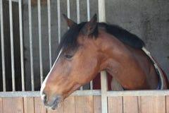 Άλογο που βγαίνει με το κεφάλι του από τη σιταποθήκη Στοκ Εικόνα
