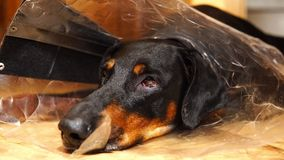 Ρύγχος ενός κουρασμένου σκυλιού σε μια ιατρική κινηματογράφηση σε πρώτο πλάνο περιλαίμιων κώνων φιλμ μικρού μήκους