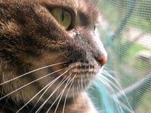 Ρύγχος μιας γκρίζας γάτας Στοκ Εικόνα
