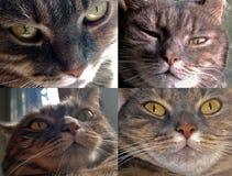 Ρύγχος μιας γκρίζας γάτας Στοκ Φωτογραφία