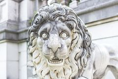 Ρύγχος μιας μαρμάρινης κινηματογράφησης σε πρώτο πλάνο λιονταριών στοκ εικόνες