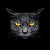Ρύγχος μια γάτα σε ένα μαύρο υπόβαθρο Στοκ Εικόνα