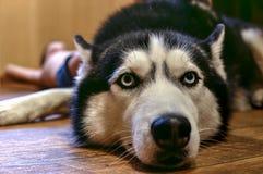 Ρύγχος να βρεθεί σιβηρικά στοκ φωτογραφίες με δικαίωμα ελεύθερης χρήσης