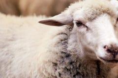 Ρύγχος προβάτων υπαίθρια Μόνιμο και κοιτάζοντας επίμονα ζώο γεωργίας αναπαραγωγής στοκ εικόνα με δικαίωμα ελεύθερης χρήσης