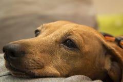 Ρύγχος σκυλιών Dachshund Στοκ εικόνα με δικαίωμα ελεύθερης χρήσης