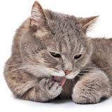Ρύγχος της γκρίζας γάτας που γλείφει ένα forepaw Στοκ φωτογραφίες με δικαίωμα ελεύθερης χρήσης