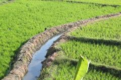 ρύζι άρδευσης πεδίων Στοκ εικόνα με δικαίωμα ελεύθερης χρήσης