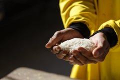 Ρύζι λαβής χεριών Στοκ Εικόνες