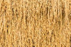 Ρύζι ακίδων Στοκ Εικόνες