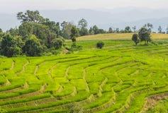 Ρύζι βημάτων στοκ φωτογραφία με δικαίωμα ελεύθερης χρήσης
