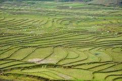 ρύζι Βιετνάμ πεδίων Στοκ εικόνα με δικαίωμα ελεύθερης χρήσης