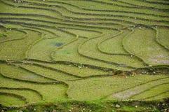 ρύζι Βιετνάμ πεδίων Στοκ Εικόνες
