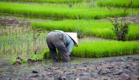 ρύζι Βιετνάμ πεδίων Ορυζώνας ρυζιού Binh Ninh Στοκ εικόνα με δικαίωμα ελεύθερης χρήσης