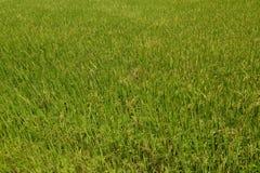 ρύζι βουνών πεδίων ανασκόπη&s Στοκ Εικόνα