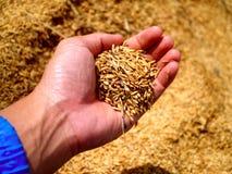 ρύζι εκμετάλλευσης χεριών Στοκ Εικόνα