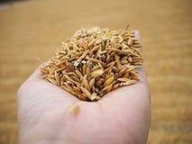 Ρύζι και ορυζώνας Στοκ Εικόνα