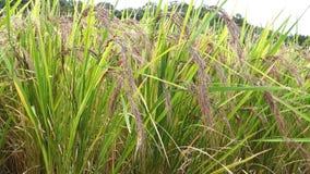 Ρύζι μούρων ρυζιού στον τομέα ρυζιού στην Ιαπωνία απόθεμα βίντεο