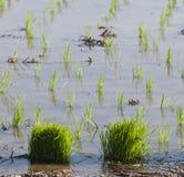 ρύζι ορυζώνα ανασκόπησης Στοκ εικόνα με δικαίωμα ελεύθερης χρήσης
