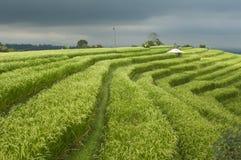 ρύζι ορυζώνα πεδίων θυελ&la Στοκ φωτογραφία με δικαίωμα ελεύθερης χρήσης